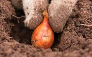 Как правильно посадить лук под зиму на Урале?