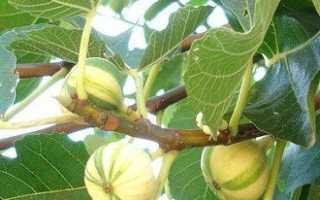 Выращивание инжира в южных и северных областях