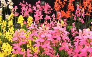 Диза одноцветковая (Disa grandiflora)