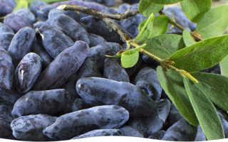 Жимолость блестящая: описание и тонкости выращивания растения.