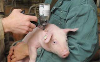 Как колоть поросятам железо и другие прививки?