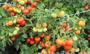 Высокоурожайный гибрид отменного вкуса — томат «Ирина»: характеристика и описание сорта, фото