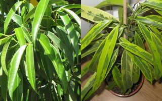 Биннендийка (фикус Али): выращивание, пересадка, размножение