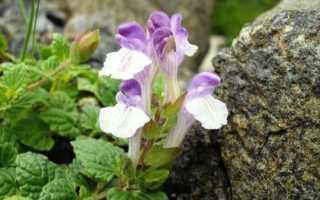 Байкальский шлемник (Scutellaria Baicalensis): описание, фото и правила посадки растения, а также способы выращивания, включая