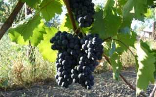 Виноград Мускат Голодриги: что нужно знать о нем, описание сорта, отзывы
