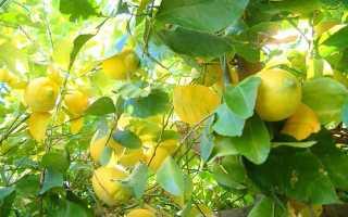 Как вырастить лимон парнике