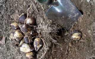Как и когда правильно выкапывать луковичные