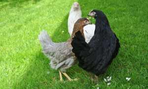 Грюнлегер – порода кур