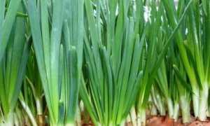 Зеленый лук в зимнее время: особенности посадки и ухода