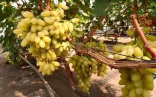 Виноград Столетие: что это за сорт Centennial seedless, как посадить и ухаживать