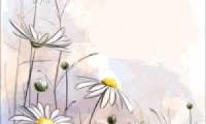 Выращивание ромашки на собственном подоконнике – возможно ли?