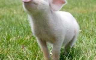 Как вырастить беконных свиней