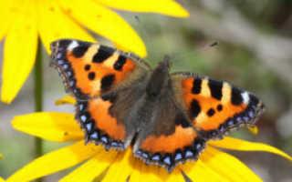 Бабочка-крапивница, фото и описание: как выглядит и чем питается насекомое, как оно развивается?