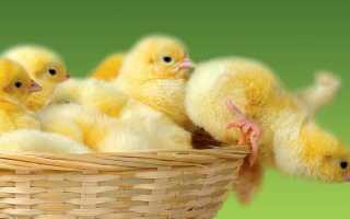 Как применять Энрофлон для цыплят?