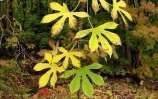 Диморфант: декоративное древесное растение