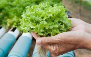 Как вырастить арбуз на гидропонике и что для этого потребуется
