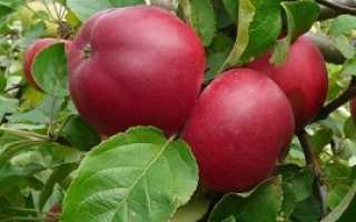 Веньяминовское – новый сорт яблок