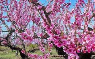 В чем заключается уход за персиком, в том числе весной