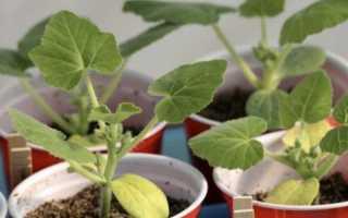 Желтеют листья у огурцов на подоконнике: причины, лечение