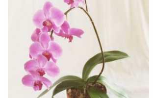 Как заставить орхидею выпустить цветонос, а его — расти вверх, что делать в домашних условиях, чтобы их было несколько, почему побега нет, как быть, если замер?