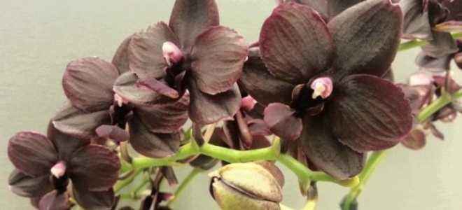 Выращивание орхидеи Фаленопсис Мультифлора в домашних условиях