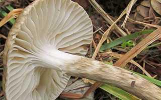 Гигрофор оливково-белый: описание и фото