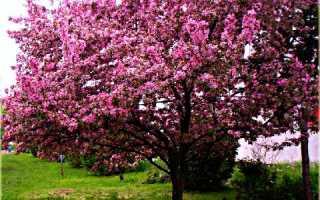 Декоративная яблоня Ола, выращивание и уход