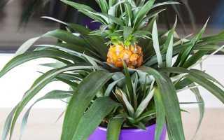 Как вырастить дома ананас из верхушки, чтобы он плодоносил
