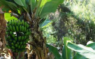 Зеленые бананы: польза и вред, можно ли есть, что с ними делать