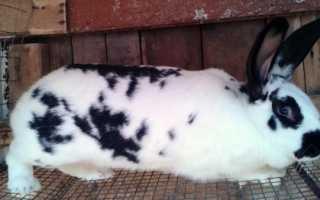 Бабочка – неприхотливая порода кроликов. Обзор характеристик и правил содержания