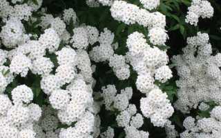 Белая спирея вангутта: описание, посадка и уход, размножение