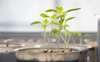 9 простых советов по выращиванию рассады томатов