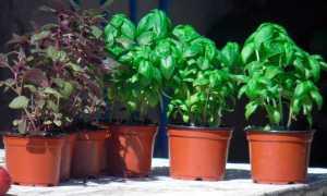 Вот что будет, если посадить базилик на одной грядке с овощами