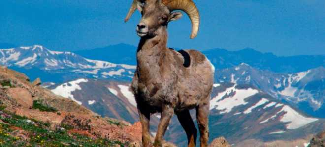 Горный баран – фото и описание, места обитания, виды