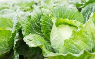 Белокочанная капуста: сорт Золотой гектар