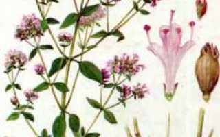 Душица – лечебные свойства и использование травы в различных областях