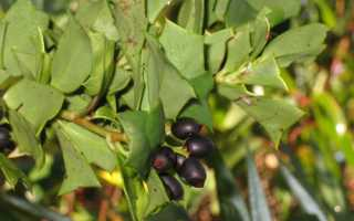 Гризелиния (Griselinia) — описание, выращивание, фото