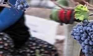 Виноград Бычий глаз: описание сорта, фото