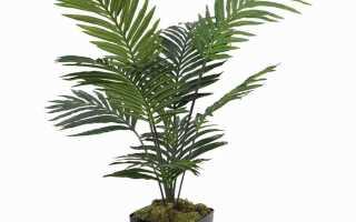 Арека катеху (Бетелевая пальма)