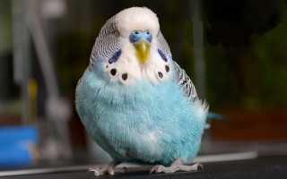 12 болезней волнистых попугаев: симптомы, лечение в домашних условиях, что делать, если попугай заболел