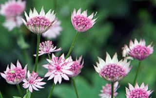Астранция крупная: выращивание растения