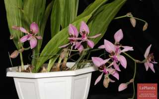 Анцистрохилус Ротшильда (Ancistrochilus rothschildianus) — описание, выращивание, фото