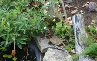 Белозор — Parnassia: фото, условия выращивания, уход и размножение