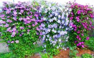 Как правильно подкармливать клематисы для обильного цветения