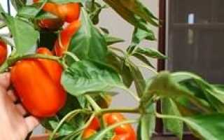 Как опылять комнатный перец дома