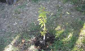 Как вырастить миндальное дерево в подмосковье
