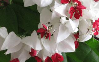 Как бороться с болезнями и вредителями клеродендрума: советы цветоводов