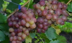 Виноград культурный 'Ромулус' — описание сорта, характеристики