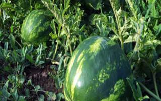 Арбуз от семечка до крупной ягоды – этапы выращивания, видео