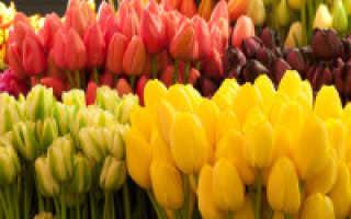 10 самых модных белых сортов тюльпанов. Описание, фото
